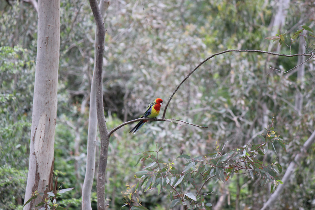 A cheeky rosella perched on a native bough in the Belair National Park Hoilday Park