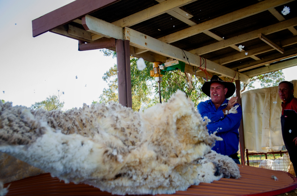 A shearer with a fleece at the Miles Back to the Bush festival