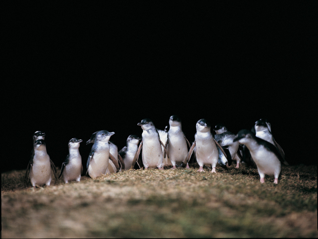Fairy penguins engage in centuries old tradition, the Penguin Parade