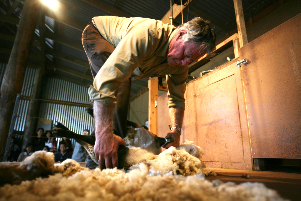 Shearing demonstrated at the Churchill Island Heritage Park