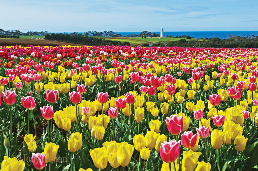 Table Cape Tulip Farm with the lighthouse in the background