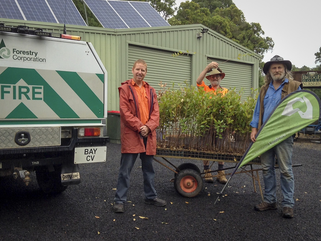 Forestry NSW donated seedlings to South Coast NSW landowners to support koala populations impacted by the recent devastating blazes last bushfire season