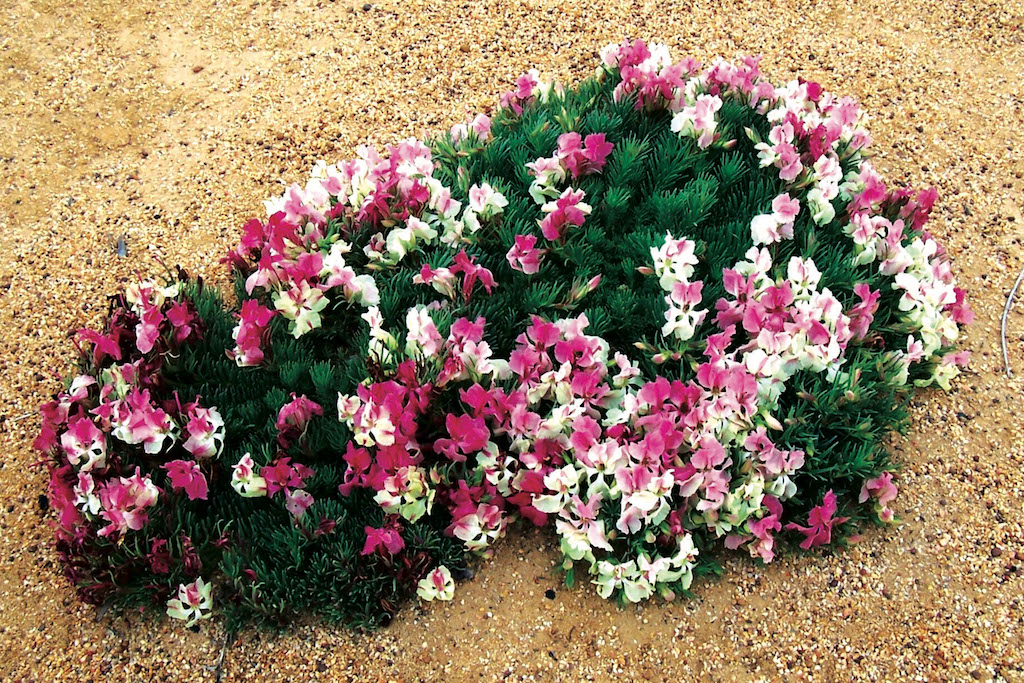 wreath flowers already blooming in the mid-west
