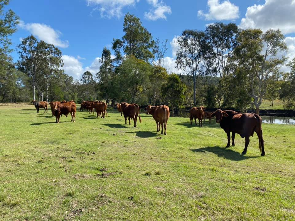 Cattle graze the 600 acre property