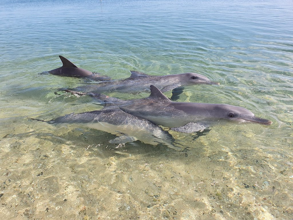 Dolphins are individuals and swim together as families Monkey Mia